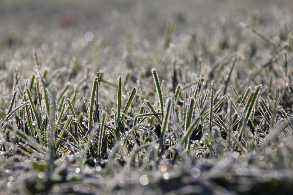 Frost Grass 2